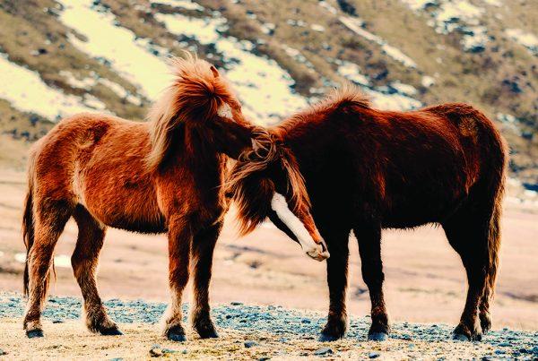 Toppbilde Hester trenger venner_Foto_Pixabay - til nett