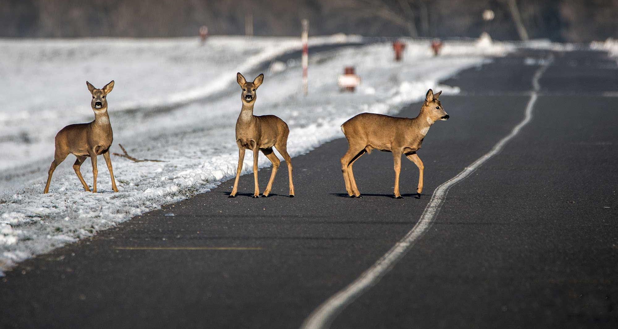 Ville dyr og trafikk